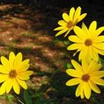 M'ama non m'ama. Fotografia di G. Cecchini - 1° Premio al concorso fotografico 2010, sezione botanica.