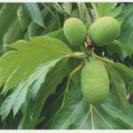 Frutto dell'Artocarpus camansi. Fotografia di M.G. Araneo - 3° Premio al concorso fotografico 2010, sezione botanica.