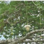 Fiore del baobab. Fotografia di M.G. Araneo. Concorso fotografico 2010, sezione botanica.