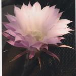 Il fiore di un giorno. Fotografia di L. Saioni. Concorso fotografico 2010, sezione botanica.