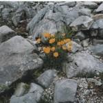 Fiori gialli tra le rocce. Fotografia di G. Occhini. Concorso fotografico 2010, sezione botanica.