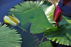 """4° Premio concorso foto botaniche 2012: """"Ninfee"""", di Beatrice Venturini"""