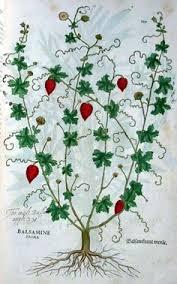 Momordica balsamina - Erbario di Leonhart Fuchs (1543)
