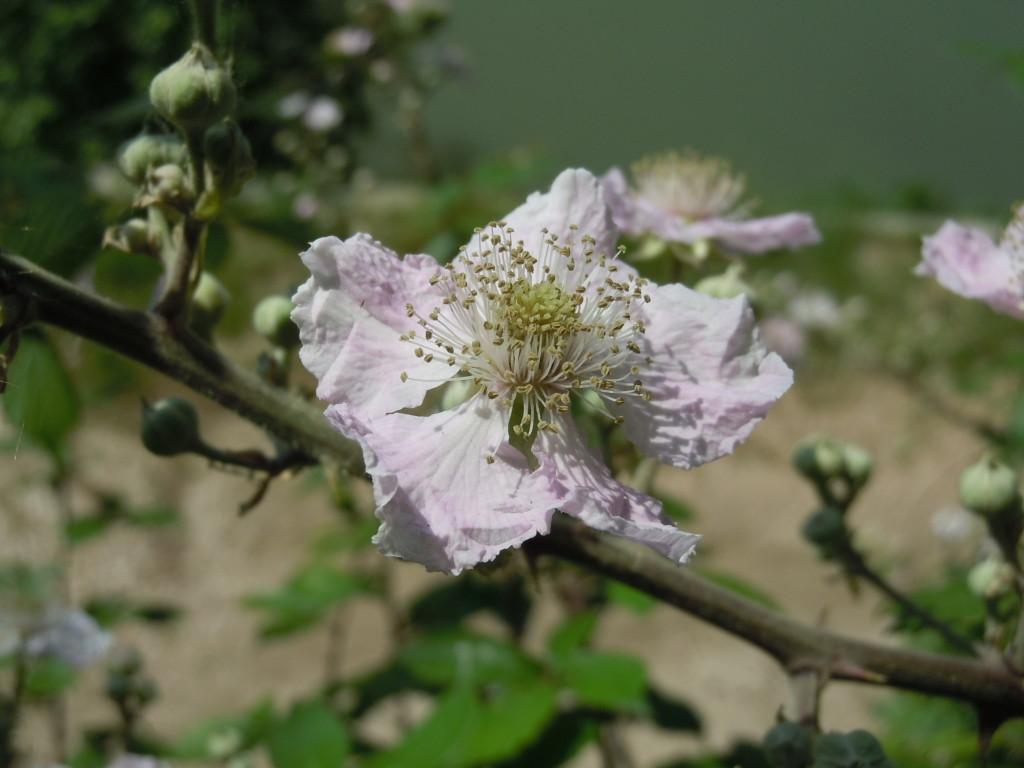 Rubus fruticosus Rosacee Lung Aventino