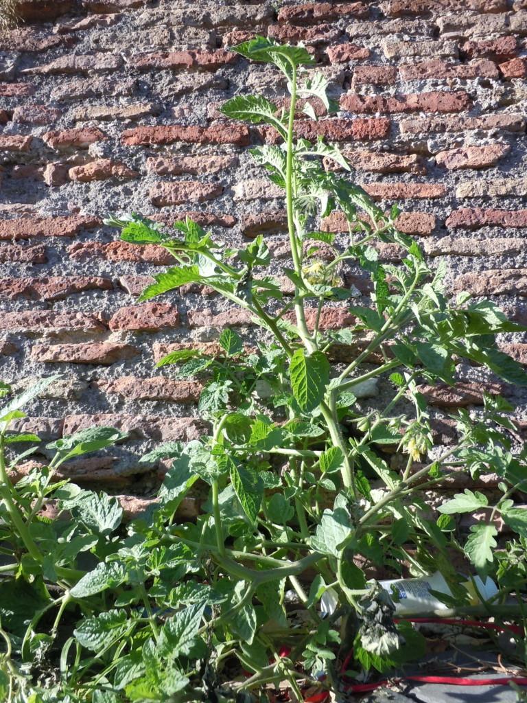 Solanum lycopersicum Solanacee