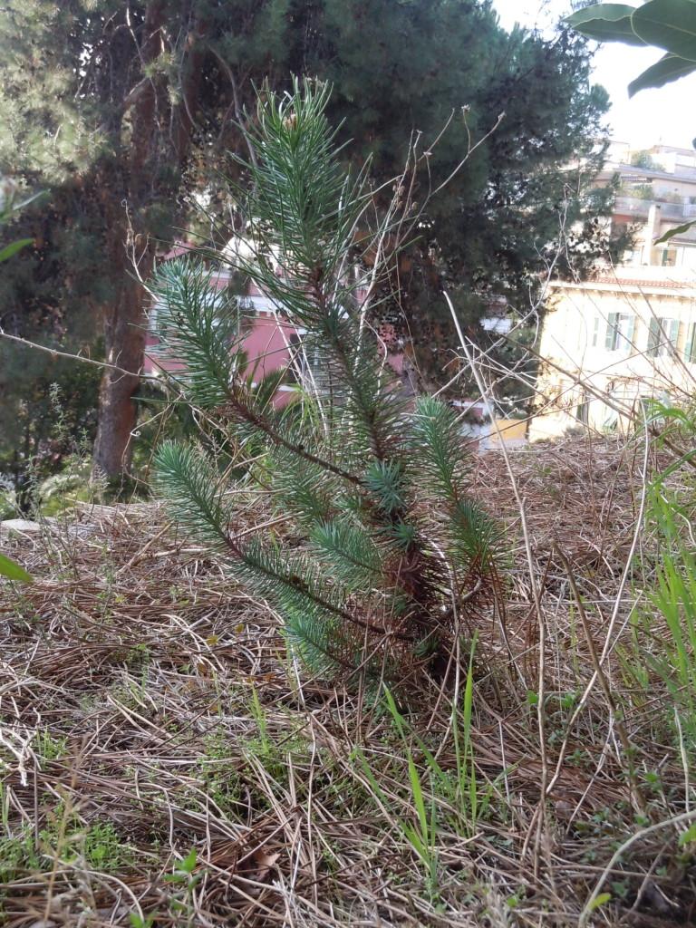 Pinus pinea Villa Sciarra