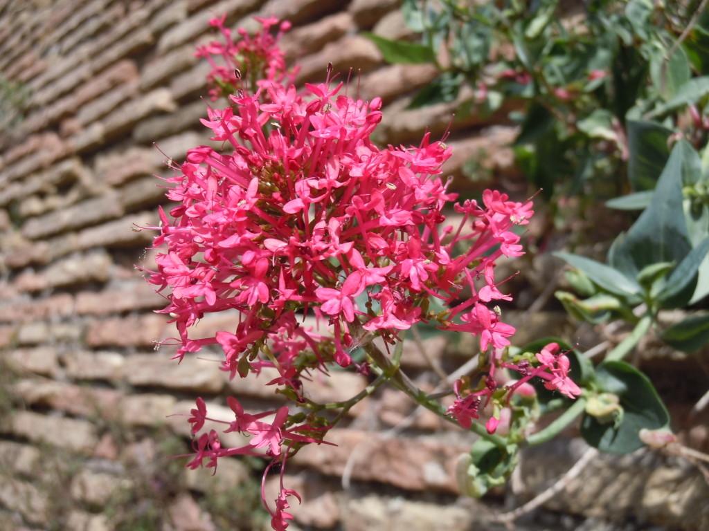 Centranthus ruber Valerianacee