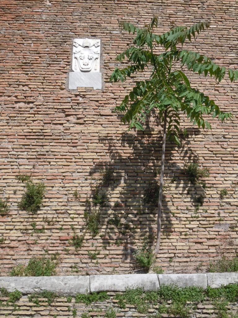 Ailanthus altissima Simarubacee