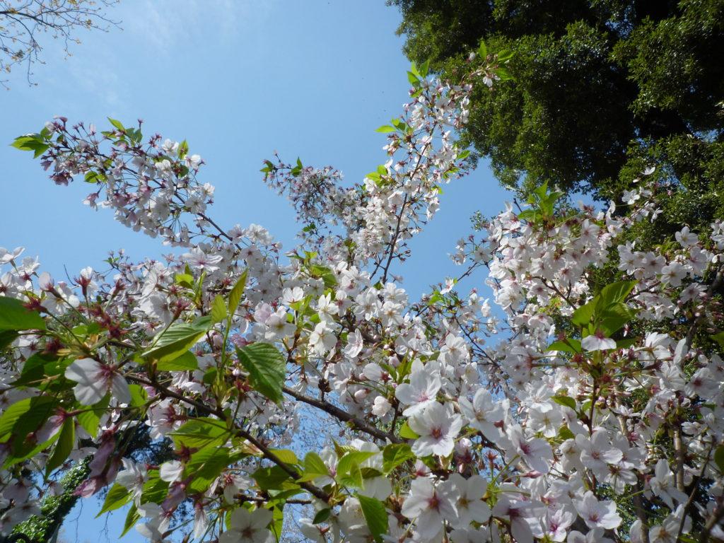 leggera fioritura ciliegi