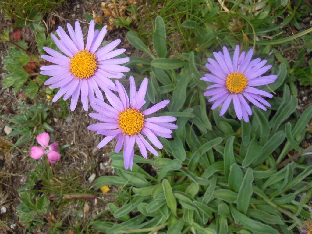 """Giardino botanico """"Bruno Peyronel"""", Aster alpinus"""