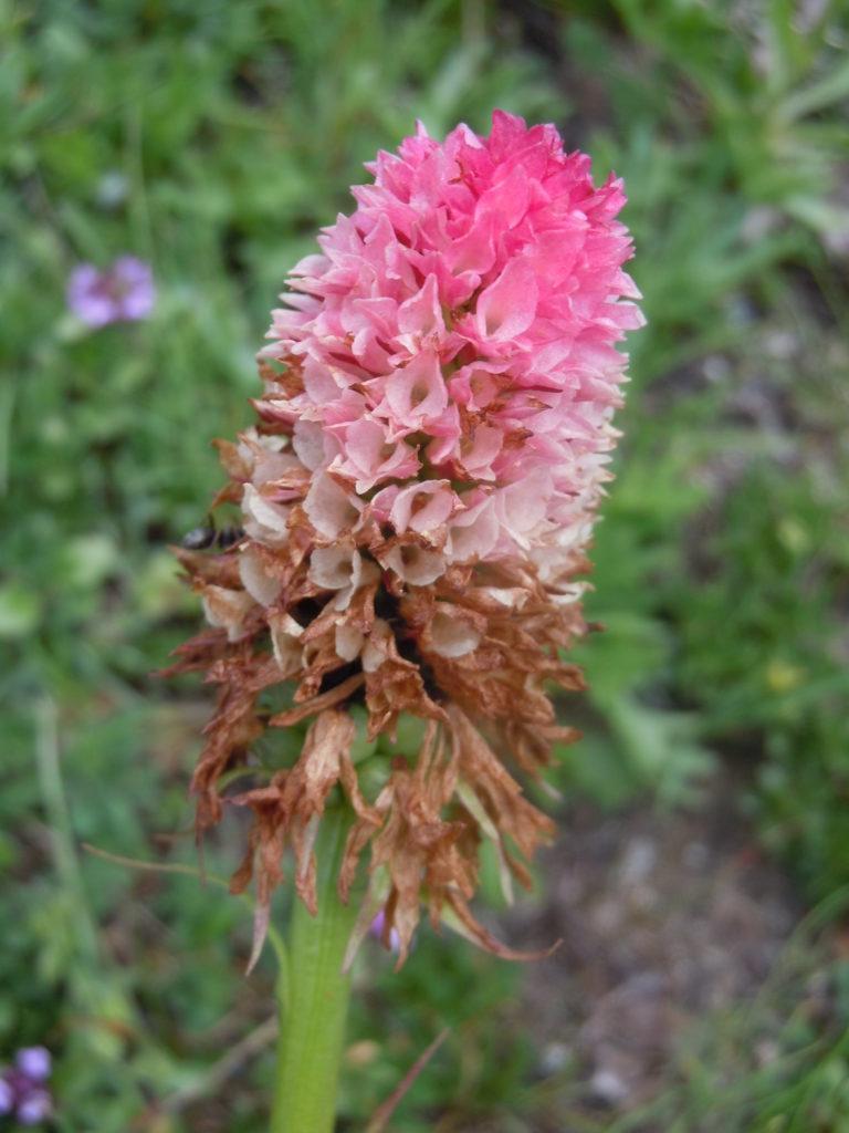 "Giardino botanico ""Bruno Peyronel"", 11 GB Bruno Peyronel Nigritella corneliana"