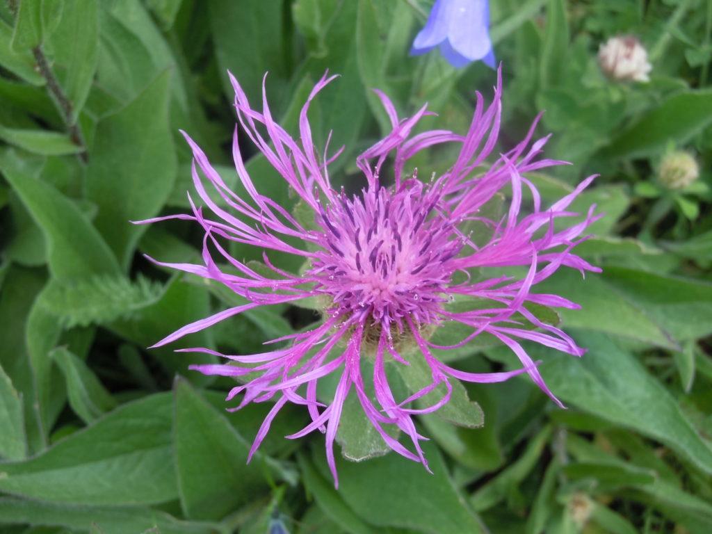 "Giardino botanico ""Bruno Peyronel"", 12 GB Bruno Peyronel Centaurea nervosa"