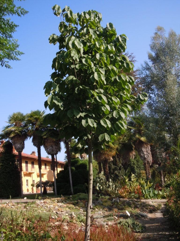 3 Villa Bricherasio Asimina triloba-Banano di montagna