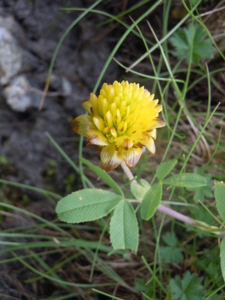 "Giardino botanico ""Bruno Peyronel"",l Trifolium badium"