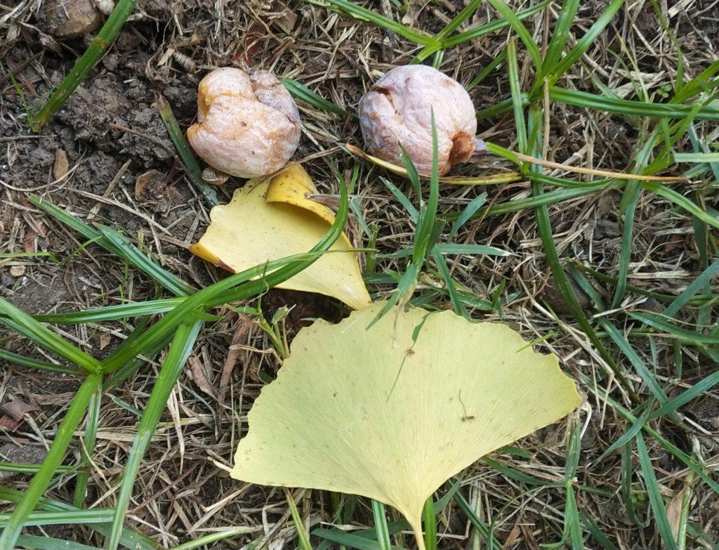 Ginkgo biloba, semi e foglia adulta